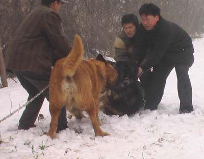 高加索犬对决藏獒 高加索犬一击即咬断藏獒喉咙 - 和蔼一郎 - 和蔼一郎