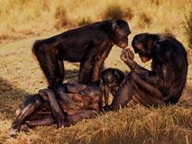 倭黑猩猩交配不分老少雄雌