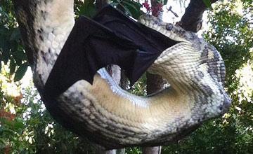 蟒蛇吞食蝙蝠全过程