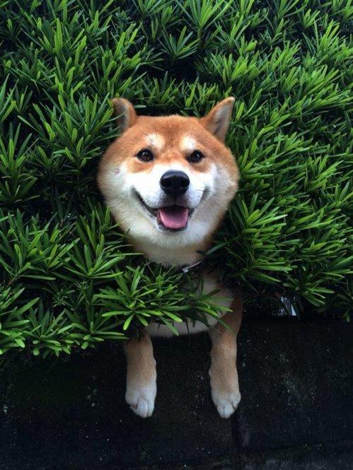 发现了一只可爱的柴犬卡在树丛当中