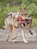 狐狸趁狼群外出欲偷狼崽 反遭狼爸一击致命