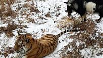 勇敢山羊霸占虎穴与老虎同吃同住