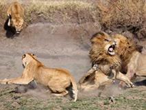 四只猛狮围攻一只老狮子