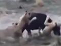 雄狮战水牛被顶死