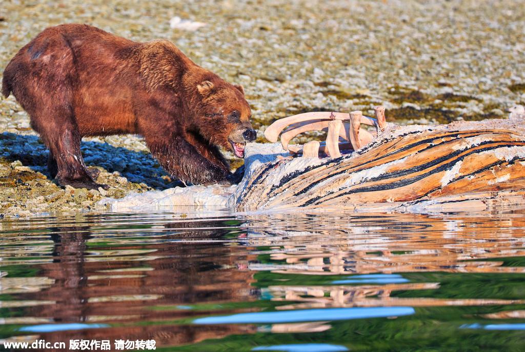 一头鲸鱼尸体引起的三熊大战