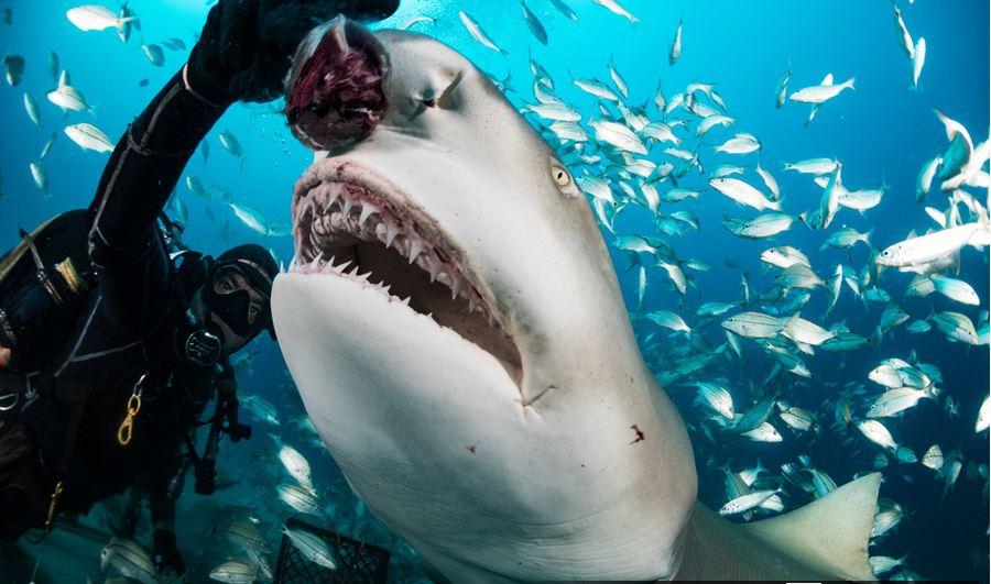 """潜水员与鲨鱼""""亲密接触"""" 冒险喂食胆量超人"""