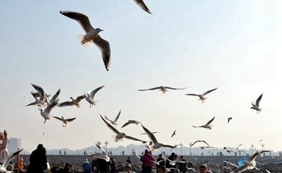 高清:青岛再现碧海蓝天 栈桥边海鸥翩翩起舞