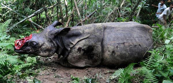 壁纸 犀牛 野生动物 600_290