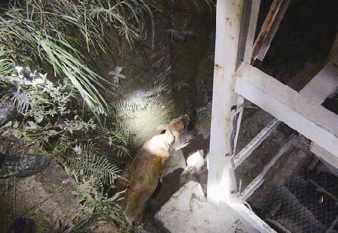 贪吃小牛掉入深坑被困9小时 被起重吊臂救出