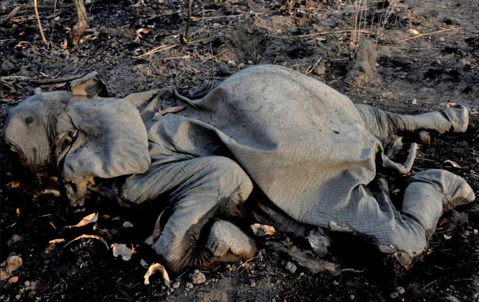 喀麦隆数百大象遭猎杀