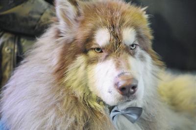哈市雪橇犬大趴 阿拉斯加抢镜 秒变逗比