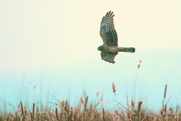 野鸭湖很清静,只有灰鹤的鸣叫和风声.