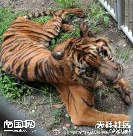 一个老虎有翅膀