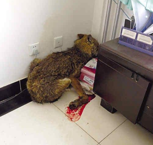 青海一只受伤野狼闯进政府办公室_资讯频道_