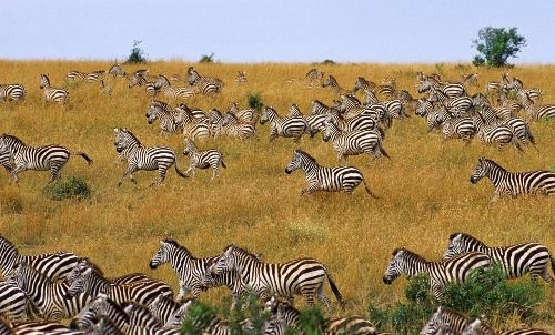 感受生命张力呐喊 东非野生动物大迁徙