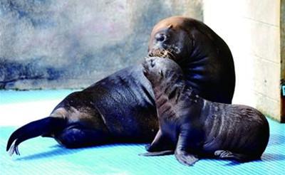 青岛水族馆12岁海狮带第三胎见游客 连续3年生娃(图)