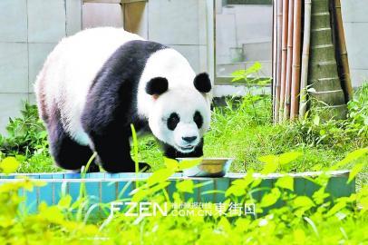 赠台熊猫圆圆产下幼崽 福州大熊猫雷雷喜当外婆
