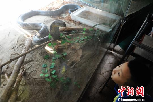 小朋友观看处于攻击状态的眼镜王蛇。杨华峰 摄 7月23日,长沙生态动物园的名贵蛇展吸引了众多游客前来参观,并与蛇类亲密接触。为期1个多月的名贵蛇展,共展出包括蛇中大熊猫的莽山烙铁头,全世界毒性最强的万蛇之王眼镜王蛇,长度近4米、重达25公斤的蟒蛇等各类珍稀蛇类27种300余条。