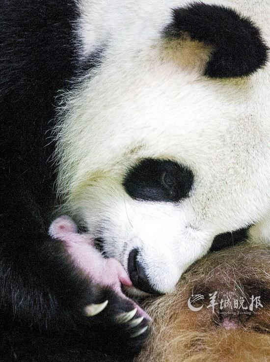 梅清将幼崽紧紧抱在怀中 艾修煜 摄 长隆野生动物世界华南珍稀动物物种保护中心4日传来喜讯:大熊猫妈妈梅清于7月31日凌晨00:55顺利产下熊猫幼崽。据悉,这是在广东省出生的首只大熊猫。由于极其珍稀,这只粤育宝宝一出生就集万千宠爱于一身,来自中国保护大熊猫研究中心的专家和长隆的专业饲养员们24小时全天候守护。长隆野生动物世界总经理董贵信表示,若条件允许,粤育熊猫宝宝将在2-3个月后与老广们见面。 产前几天,梅清便开始用新鲜竹子筑巢。7月30日晚,梅清破羊水,坐在产房一角默默用力生产,