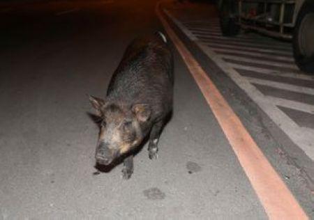 要去哪里?台一只小黑猪不睡觉逛街夜游(图)