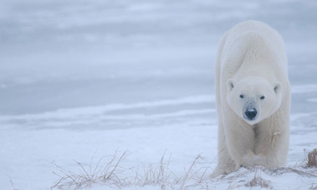 加拿大拒绝对北极熊提供保护多国审查对其不怕乌龟会要求人吗图片