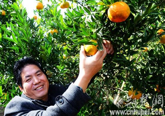 长阳清江椪柑丰产 产量可达7万吨