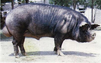 卡梅伦日猪是真的吗_\