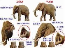 大象的阴茎怎么那么大