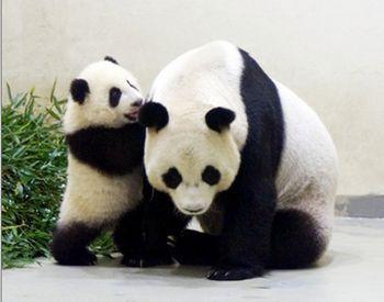壁纸 大熊猫 动物 350_275