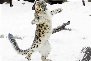小雪豹雪中跳华尔兹图片