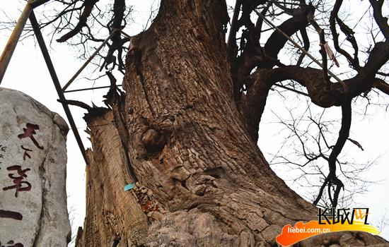 历经沧桑的古槐树。 刘云 摄