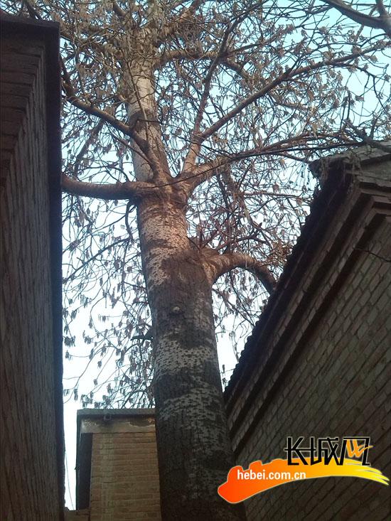 有一棵一百多年的古杨树,树干有4米高,直径约1米,树冠直径10米左右.