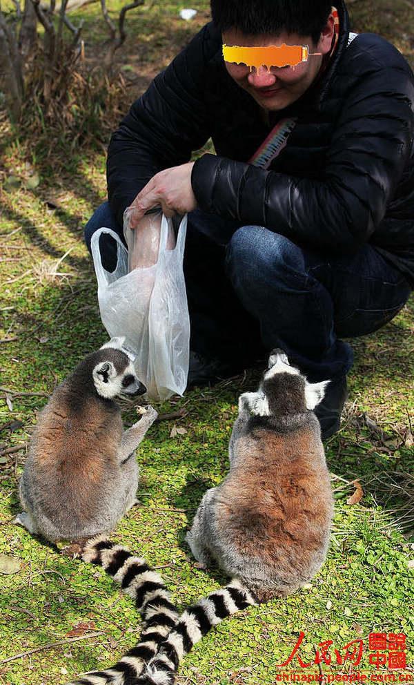 狐猴是一种贪食的小动物,而且与人相当亲近,一点也不怕人.