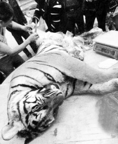 广东雷州10只老虎先后遭屠杀