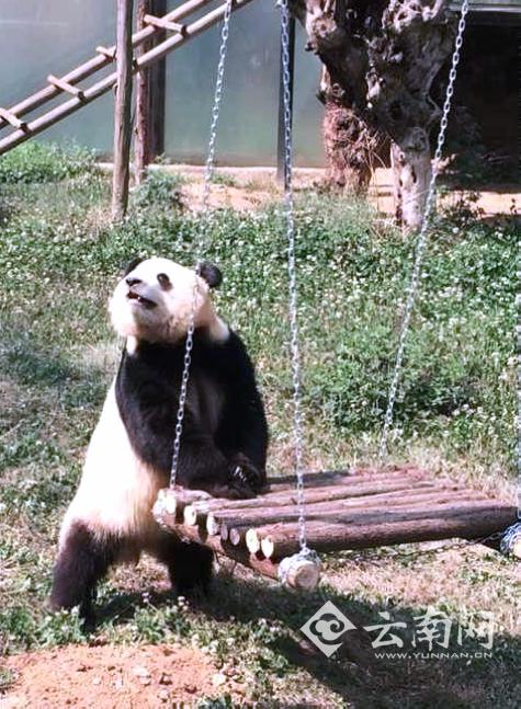 看电视做运动 云南野生动物园为大熊猫思嘉找乐子(图)