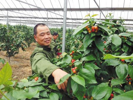 市售樱桃多产自北方 本地樱桃种植基地迎采摘客