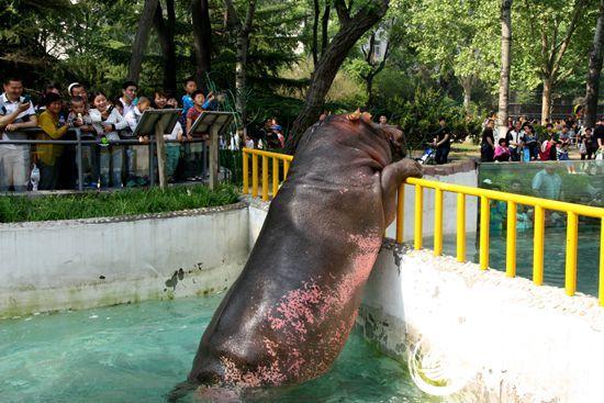 济南动物园五一期间亮相的河马鲁艳吸引了众多游客