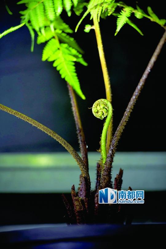滚动新闻  原标题:蕨类方舟     ●仙湖植物园蕨类植物保育中心从台湾