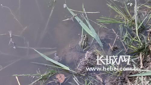 稻田里的青蛙.  摄-镜头下的曹妃甸田间插秧 机器与人群成画卷