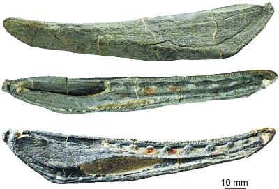 云南发现志留纪1.2米长钝齿宏颌鱼化石(图)