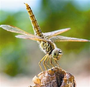 脚 蜻蜓的脚犹如飞机的起落架,飞行时收起来,降落和捕捉猎物时就伸