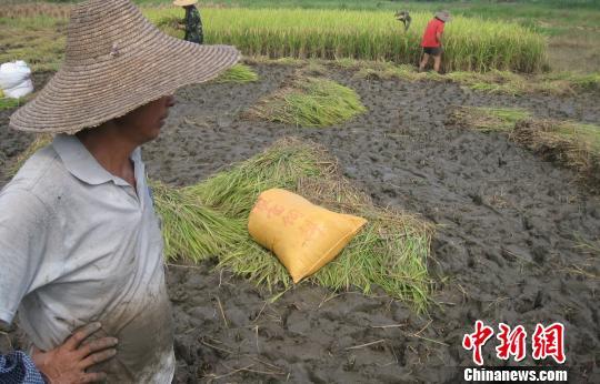 抢收水稻现场 周益臻 摄