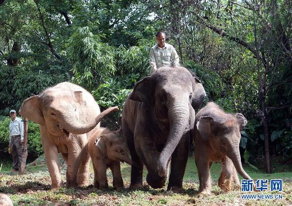 广州长隆野生动物世界亚洲象种群繁育基地全新开放图片