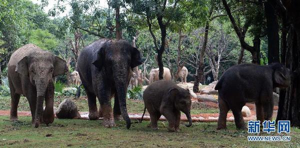 广州长隆野生动物世界亚洲象种群繁育基地全新开放