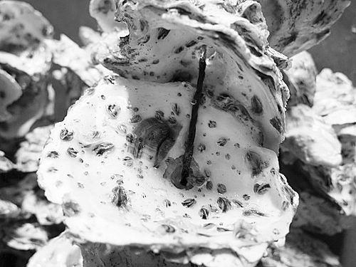 去年,喻子牛学科组在华南沿海发现了巨蛎属两个牡蛎未定种。