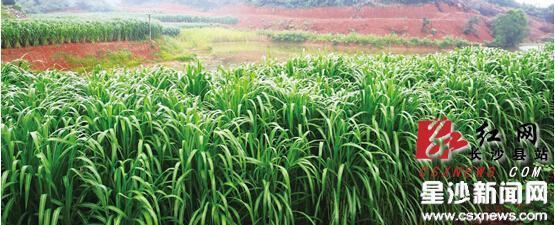 """在长沙县""""零碳县""""科技中心,这里种植着一种速生、丰产、捕碳效率高的陆生草本植物,该植物能最大限度地捕获二氧化碳。 曾诗怡 摄"""