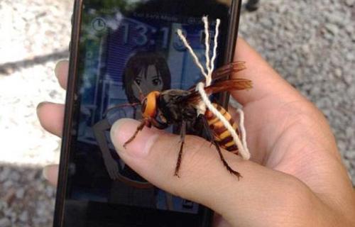 男子驯服杀人蜂当宠物养网友怀疑只是标本 日本 东京 凤凰资讯