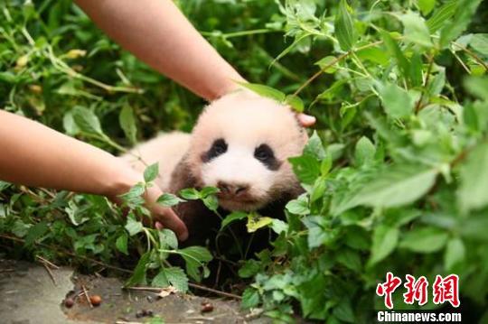 2014年全球第一只新生大熊猫神态憨萌 刘刚 摄 中新网雅安9月3日电 (刘刚)3日,在中国保护大熊猫研究中心雅安碧峰峡基地,2014年全球第一只新生大熊猫迎来了成长新篇章。当天上午,广州王老吉大健康产业有限公司宣布终生认养这只仅3个多月大的国宝,并启动全球征名活动,以唤起公众对大熊猫这一世界级濒危物种的关注。 据基地负责人介绍,此次认养的大熊猫出生于今年5月26号,是今年全球第一只新生大熊猫。在大熊猫妈妈的悉心照料下,这只年度国宝已经成长为体重9斤多的小帅哥。王老吉认养新生大熊猫的爱心行动,是对