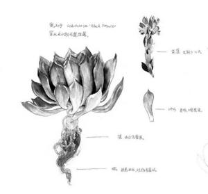 《多肉植物手绘日记》拆解多肉植物绘画步骤