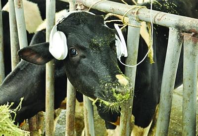 奶牛音乐_